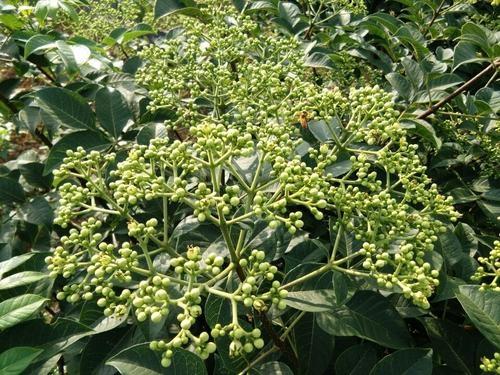 你知道吴茱萸苗的繁殖方法吗?
