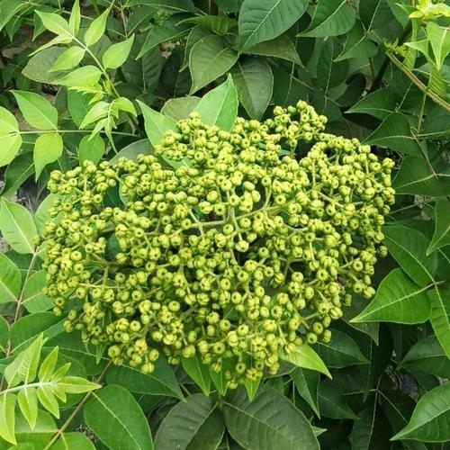 吴茱萸有什么生长特性